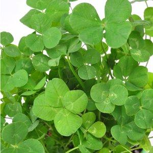 画像3: きっとみつかる 四つ葉のクローバー栽培キット