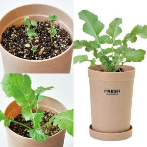 画像2: おうちで根菜栽培セット 大根