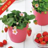 ピンクの花咲くストロベリー栽培キット [GD796]